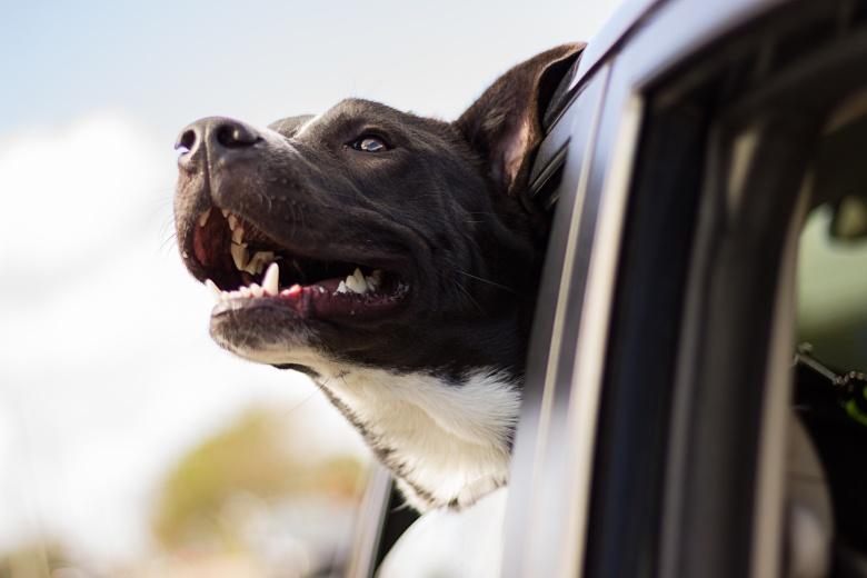 dog in car.jpg